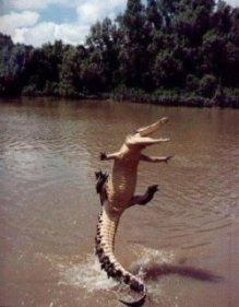 Excited croc jumping