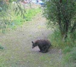 bear-in-woods